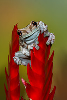Amazon Milk Frog - lives high in the canopy of the Amazon Forest