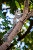 Squirrel in the Avocado Tree, Jan 2017