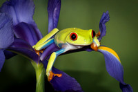 Red Eyed Tree Frog - Native to the Tropical Lowlands of Southern Mexico throughout Central America